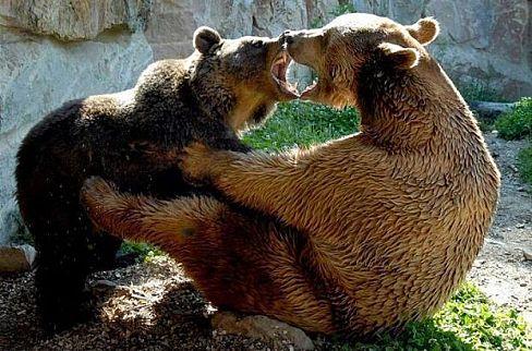 Poza ursi care se iubesc