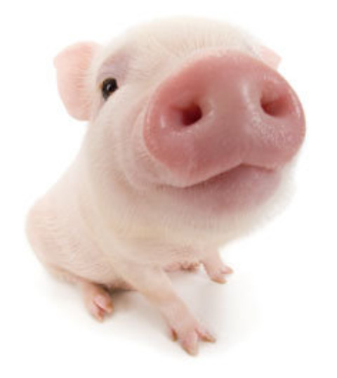 Banc – ce mananca porcul?