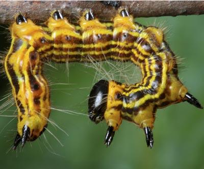 Plantele se autovaccineaza impotriva insectelor ierbivore