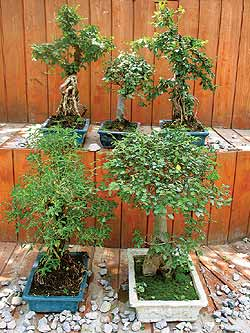 arbori miniatura bonsai