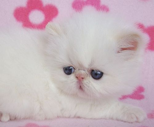 Despre pisicile de rasa persana