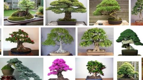 Tu stii cum arata un bonsai adevarat?