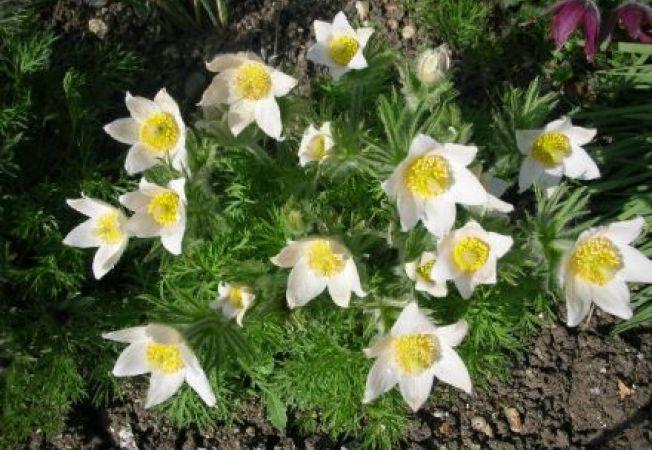 Floarea Pastelui sau floarea nascuta din lacrimile Mantuitorului