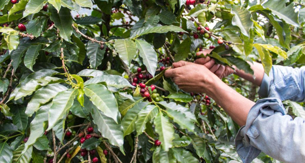 Cafeaua columbiana - Povestea inedita a celei mai populare bauturi din lume - Los Cafeteros